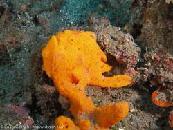 BD-080330-Lembeh-3302317-Antennarius-pictus-(Shaw.-1794)-[Painted-frogfish].jpg